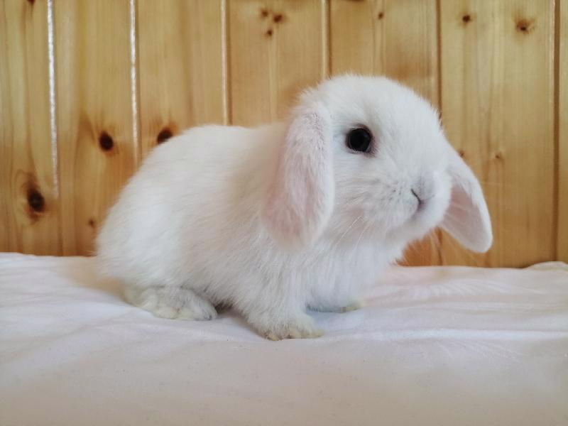 Zakrslí králíci krátkosrstí, lvíček, teddy, teddy, beran  - foto 6