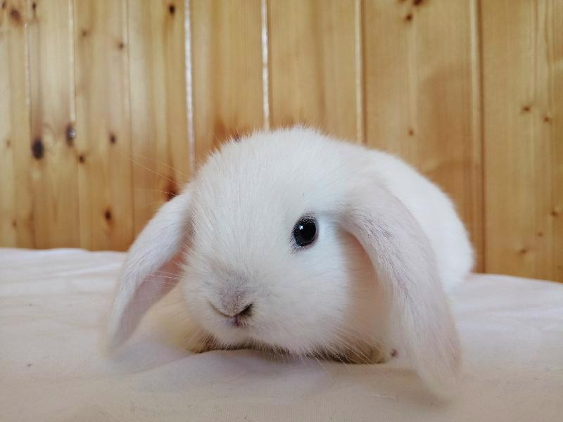 Zakrslí králíci krátkosrstí, lvíček, teddy, teddy, beran  - foto 7