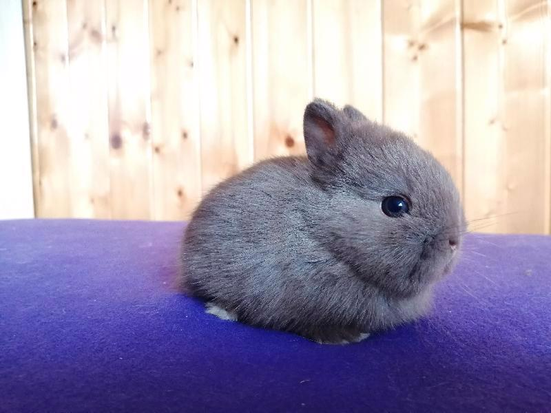 Zakrslí králíci krátkosrstí, lvíček, teddy, teddy, beran  - foto 17