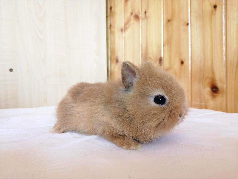 Zakrslí králíci krátkosrstí, lvíček, teddy, teddy, beran  - foto 12