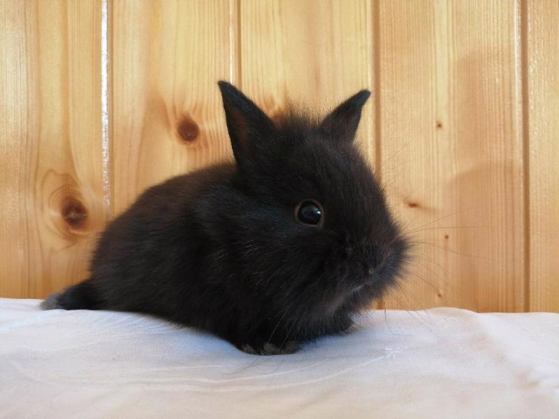 Zakrslí králíci krátkosrstí, lvíček, teddy, teddy, beran  - foto 13