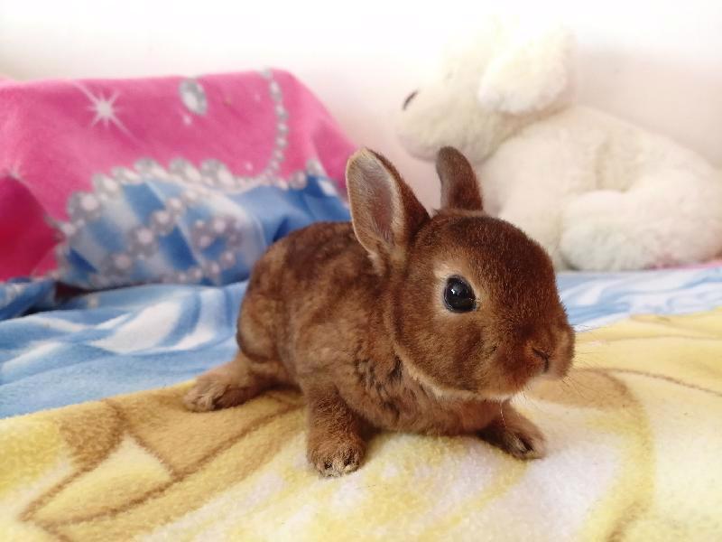 Zakrslí králíci krátkosrstí, lvíček, teddy, teddy, beran  - foto 16