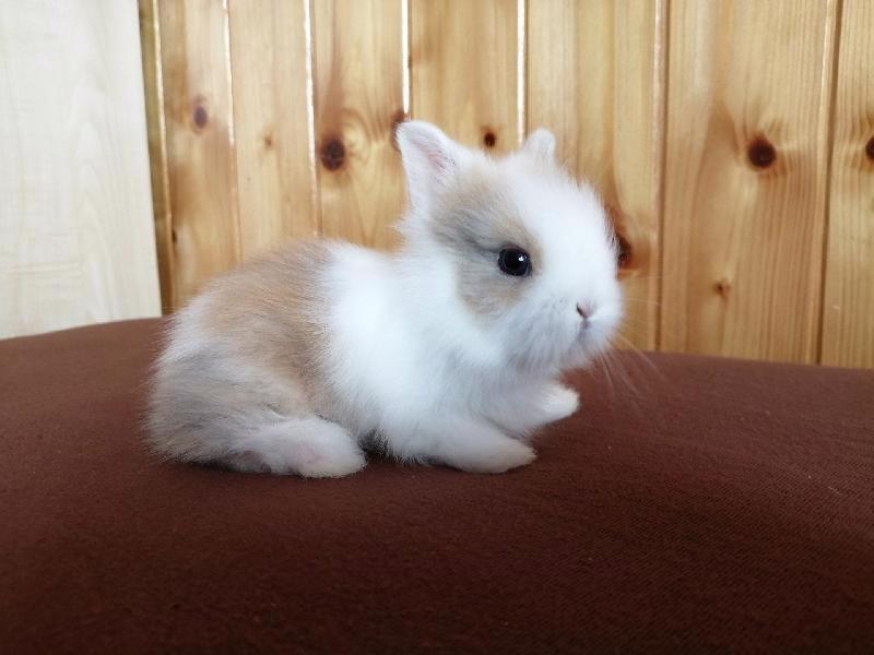 Zakrslí králíci krátkosrstí, lvíček, teddy, teddy, beran  - foto 4