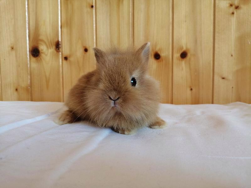 Zakrslí králíci krátkosrstí, lvíček, teddy, teddy, beran  - foto 11