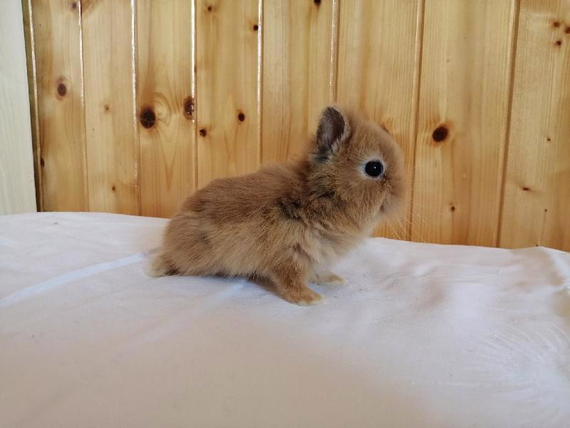 Zakrslí králíci krátkosrstí, lvíček, teddy, teddy, beran  - foto 9