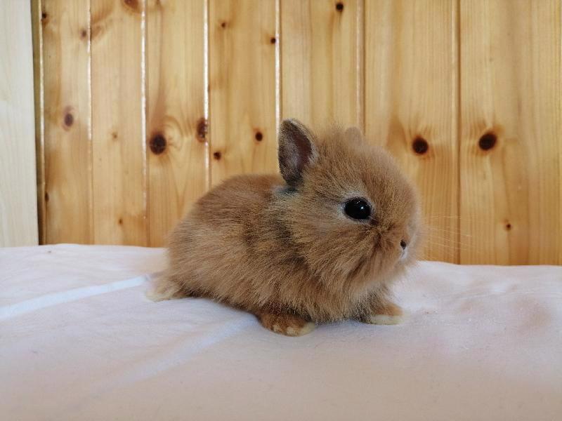 Zakrslí králíci krátkosrstí, lvíček, teddy, teddy, beran  - foto 10