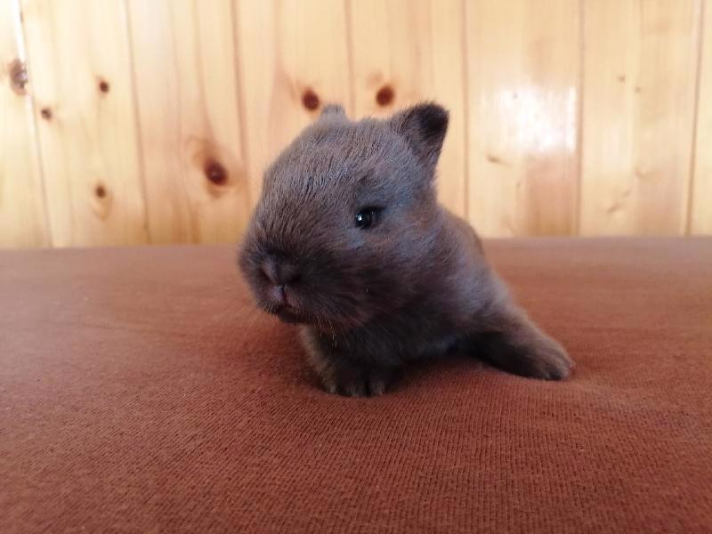 Zakrslí králíci krátkosrstí, lvíček, teddy, teddy, beran  - foto 1