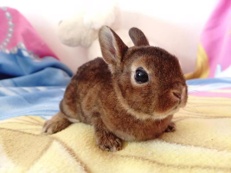 Zakrslí králíci krátkosrstí, lvíček, teddy, teddy, beran  - foto 15
