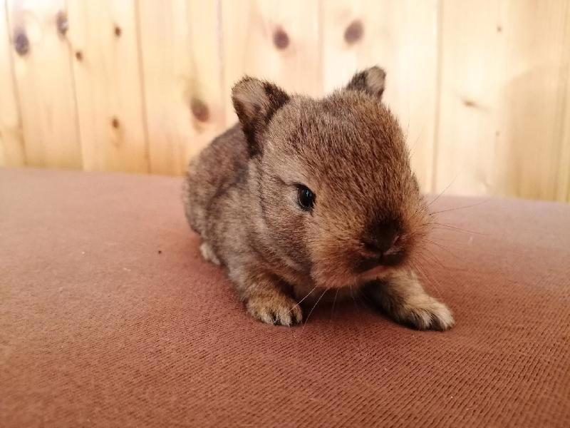 Zakrslí králíci krátkosrstí, lvíček, teddy, teddy, beran  - foto 3