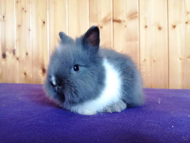 Zakrslí králíci krátkosrstí, lvíček, teddy, teddy, beran  - foto 18