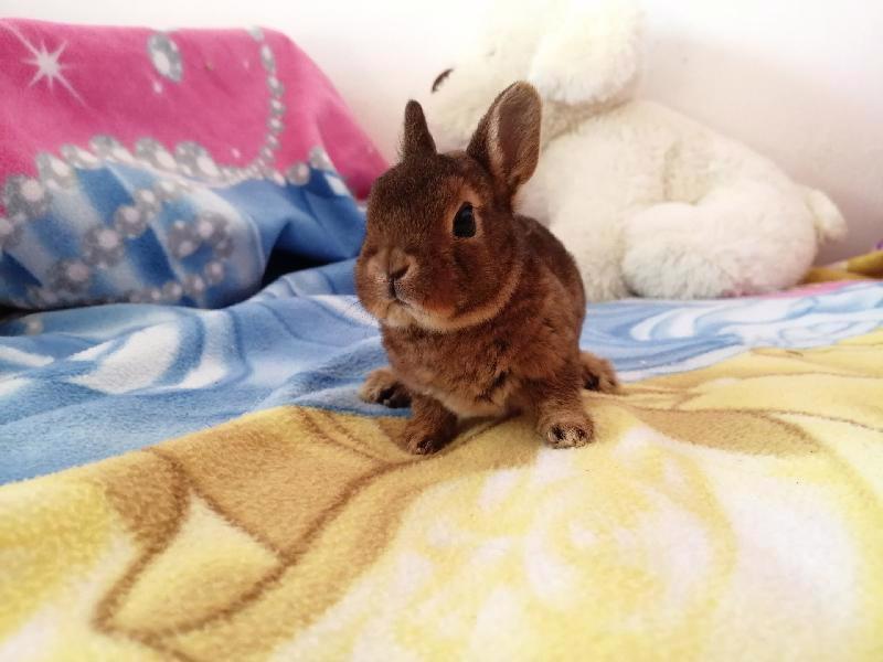 Zakrslí králíci krátkosrstí, lvíček, teddy, teddy, beran  - foto 14