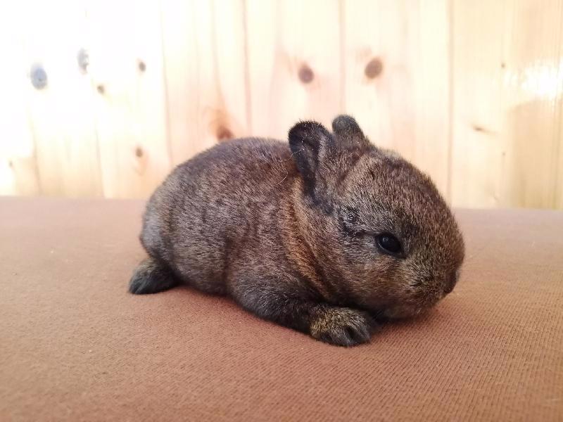 Zakrslí králíci krátkosrstí, lvíček, teddy, teddy, beran  - foto 2