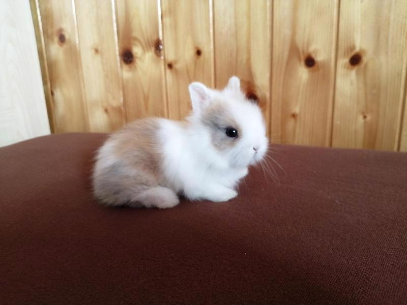 Zakrslí králíci krátkosrstí, lvíček, teddy, teddy, beran  - foto 5