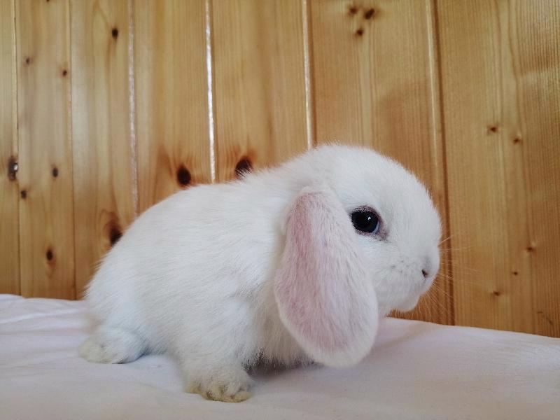 Zakrslí králíci krátkosrstí, lvíček, teddy, teddy, beran  - foto 8