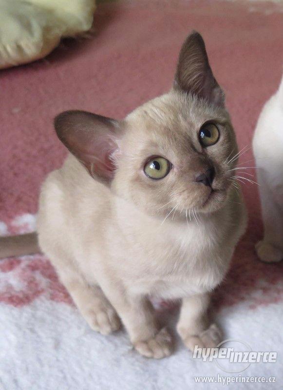 Barmská koťátka s PP