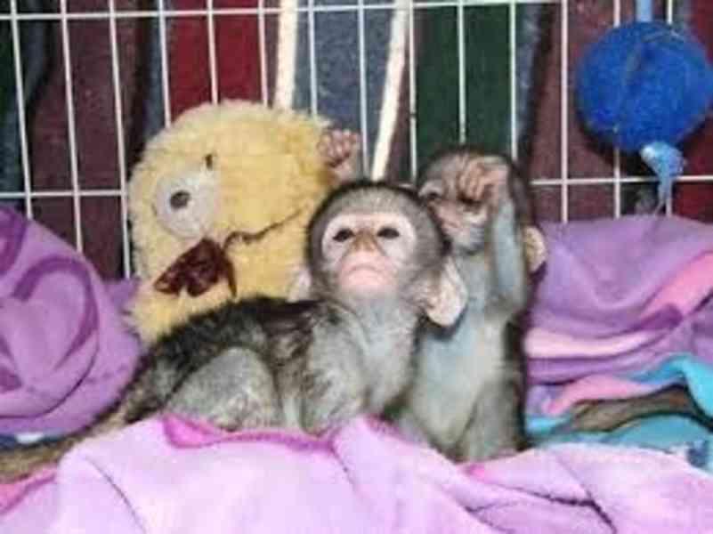 Dvojčata kapucínské opice na prodej