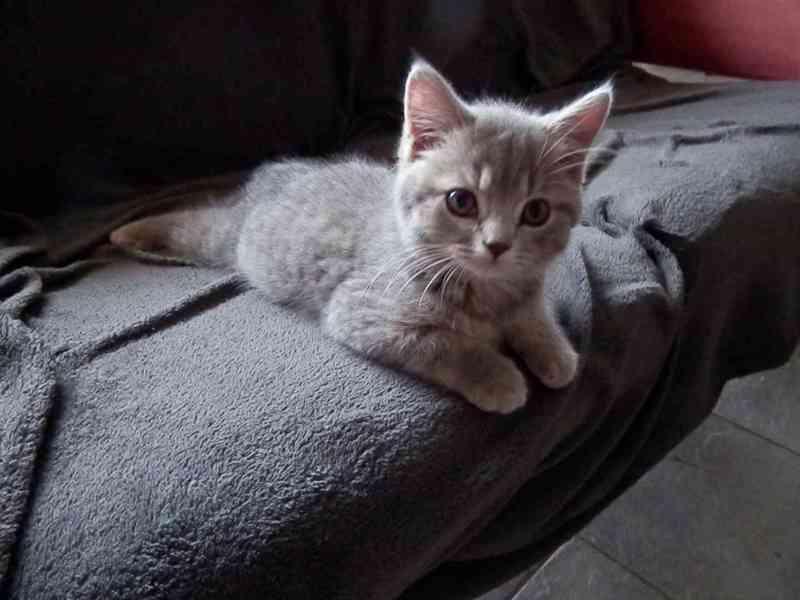 Prodám britská koťátka bez PP