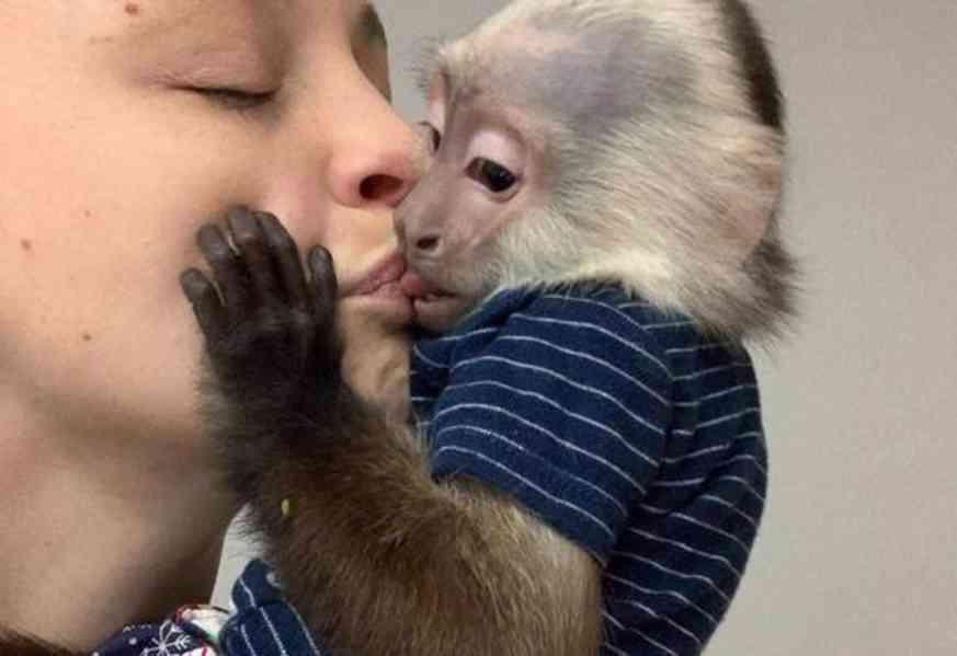 Na prodej velmi zdravé dítě kapucínské opice