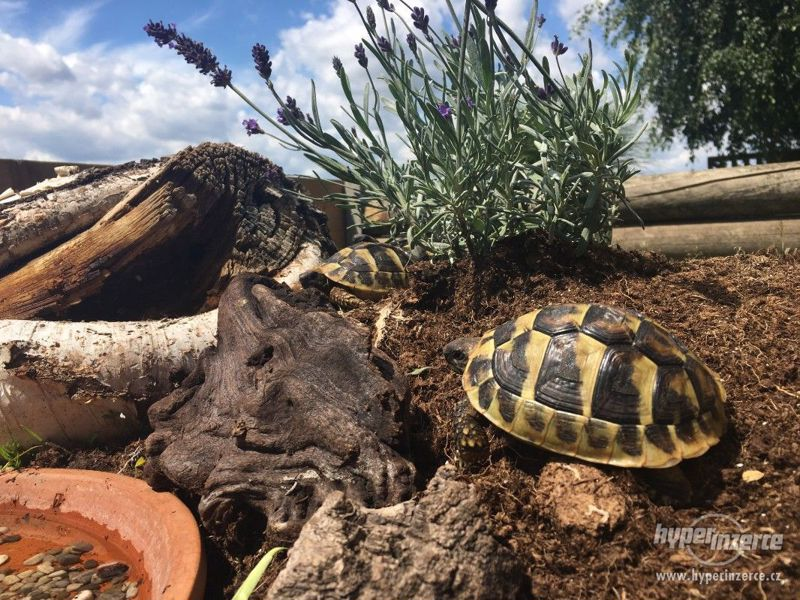 Prodám želvy zelenavé - foto 1
