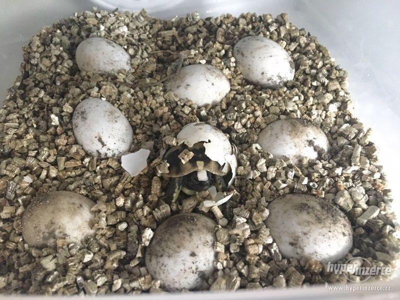 Prodám želvy zelenavé - foto 2