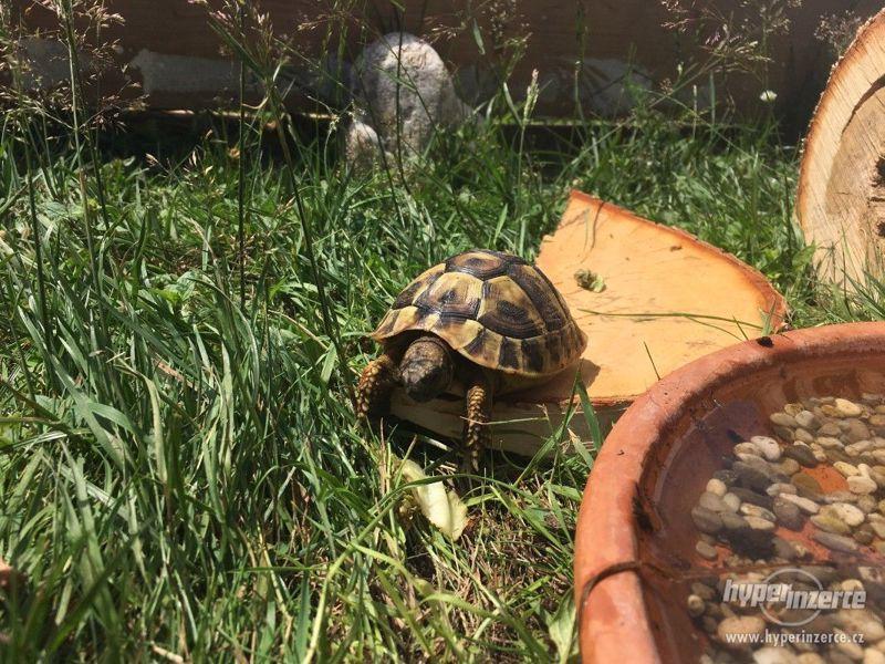 Prodám želvy zelenavé - foto 3