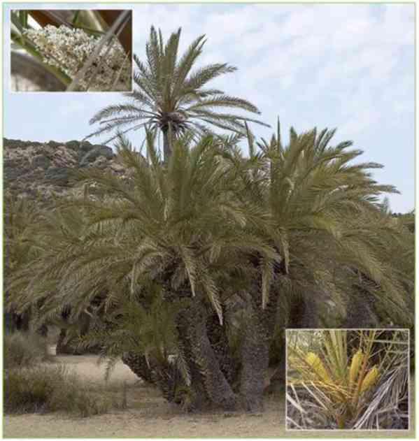 naklíčená semena Palma Phoenix theophrasti