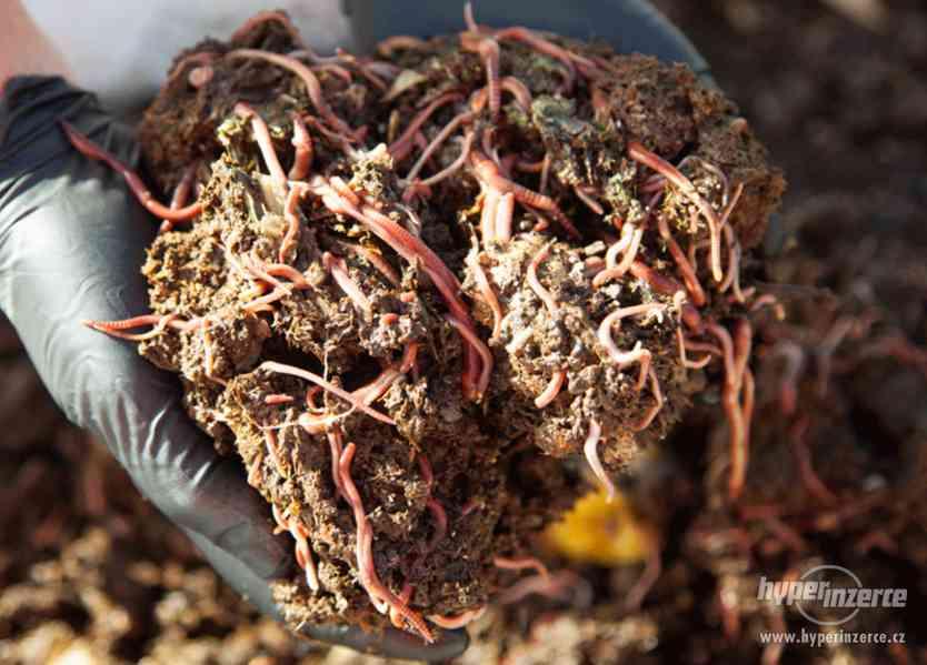 Kompostové žížaly - žížaly hnojní prodej