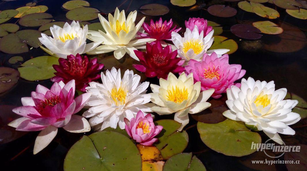 Lekníny 100% kvetoucí, mrazu odolné, 120 druhů