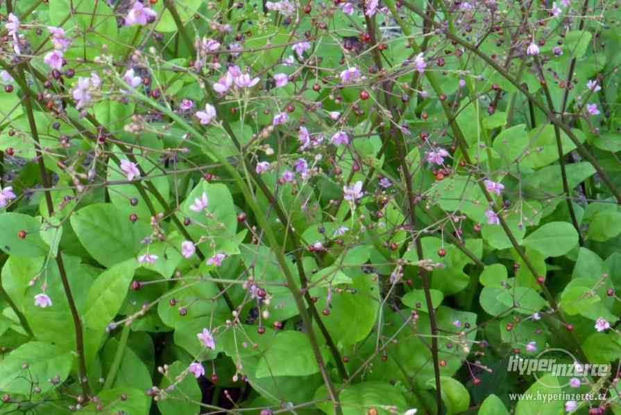 Šrucha latnatá - Talinum paniculatum - Semena - 0,2g