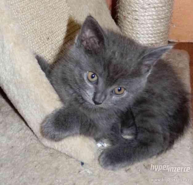Prodám krásná britská koťata bez PP,