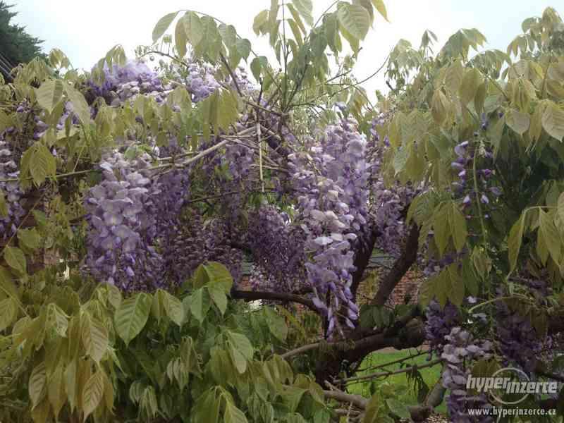 Vistárie čínská - Wisteria sinensis - foto 3