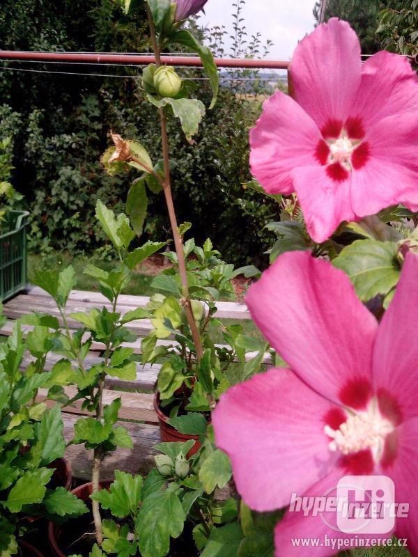 IBIŠEK VENKOVNÍ mrazuvzdorné několik druhů - barev květů - foto 18