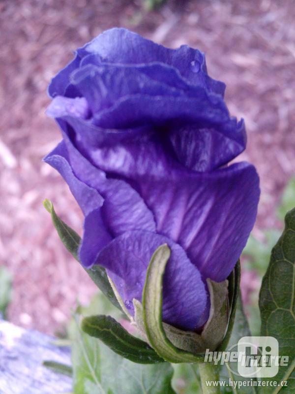 IBIŠEK VENKOVNÍ mrazuvzdorné několik druhů - barev květů - foto 20