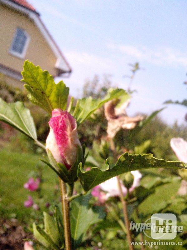 IBIŠEK VENKOVNÍ mrazuvzdorné několik druhů - barev květů - foto 25