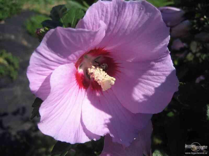 IBIŠEK VENKOVNÍ mrazuvzdorné několik druhů - barev květů - foto 1