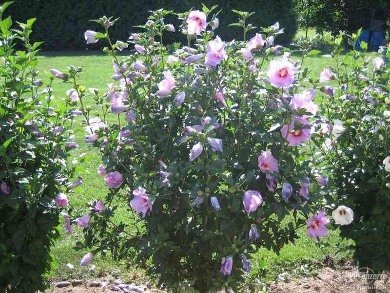 IBIŠEK VENKOVNÍ mrazuvzdorné několik druhů - barev květů - foto 3