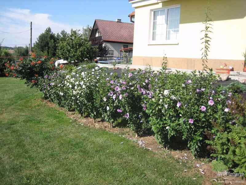 IBIŠEK VENKOVNÍ mrazuvzdorné několik druhů - barev květů - foto 4