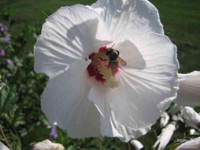 IBIŠEK VENKOVNÍ mrazuvzdorné několik druhů - barev květů - foto 5