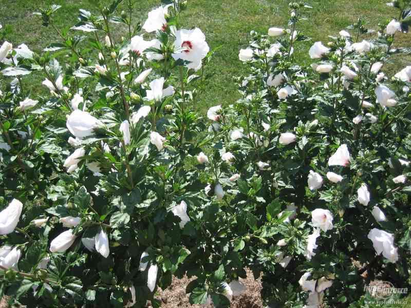 IBIŠEK VENKOVNÍ mrazuvzdorné několik druhů - barev květů - foto 6