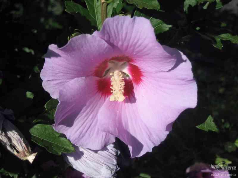IBIŠEK VENKOVNÍ mrazuvzdorné několik druhů - barev květů - foto 7