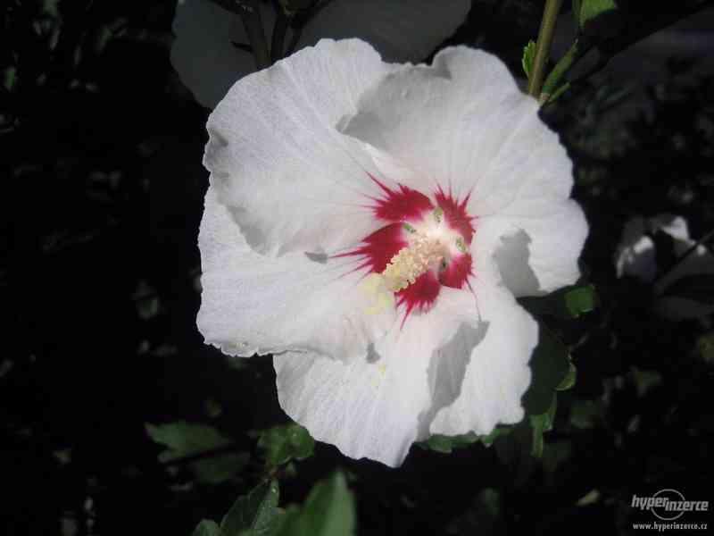 IBIŠEK VENKOVNÍ mrazuvzdorné několik druhů - barev květů - foto 8