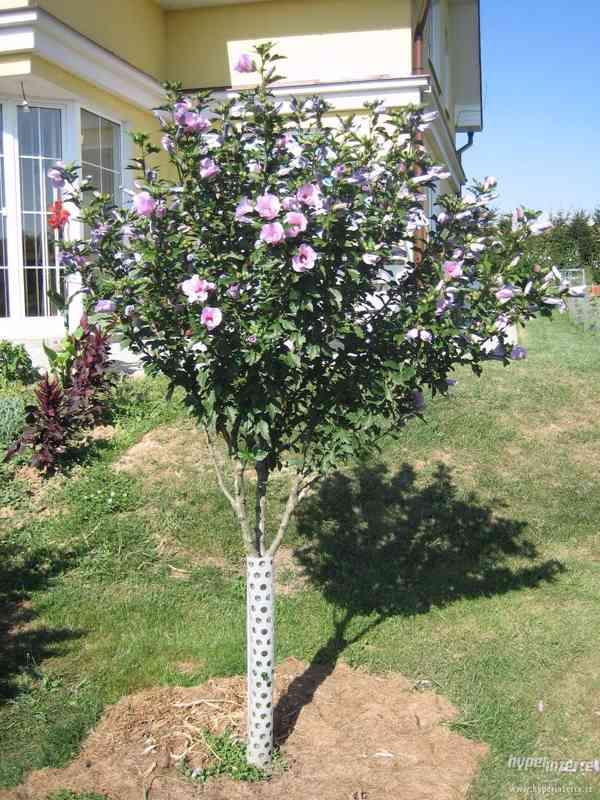 IBIŠEK VENKOVNÍ mrazuvzdorné několik druhů - barev květů - foto 9