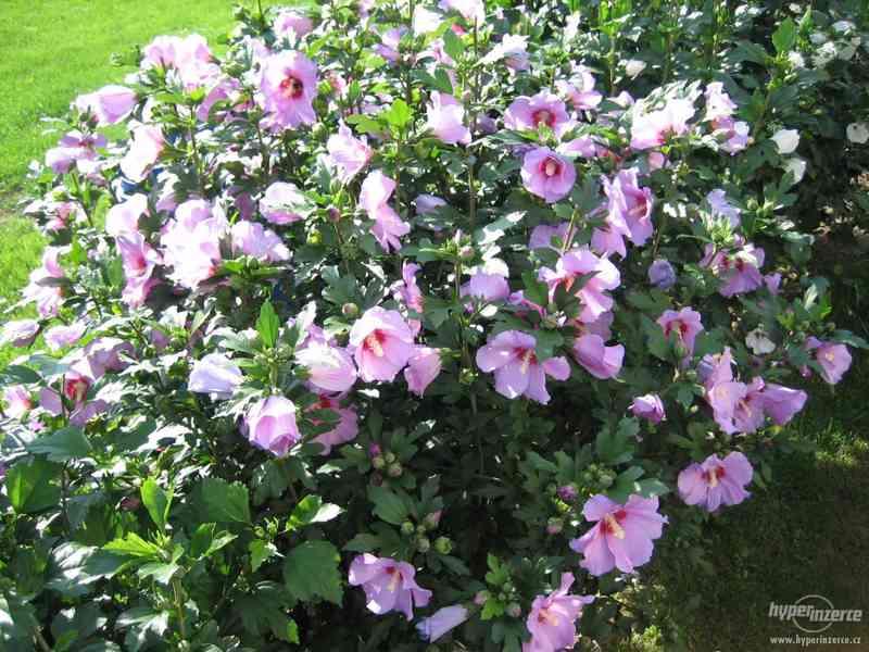 IBIŠEK VENKOVNÍ mrazuvzdorné několik druhů - barev květů - foto 11