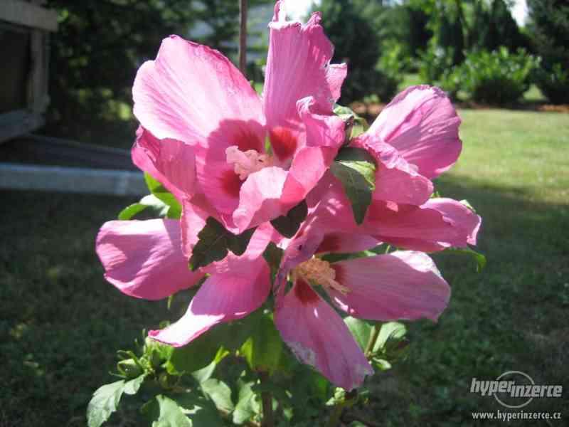 IBIŠEK VENKOVNÍ mrazuvzdorné několik druhů - barev květů - foto 16
