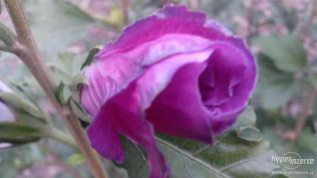 IBIŠEK VENKOVNÍ mrazuvzdorné několik druhů - barev květů - foto 27
