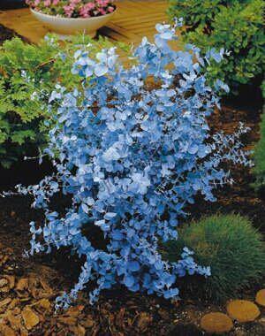 Blahovičník gunii 20/40 cm, v květináči