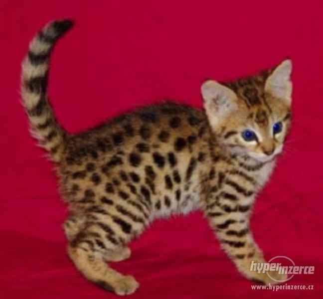 Bengálsko a F1, F2, F2, Savannah Kittens na prodej