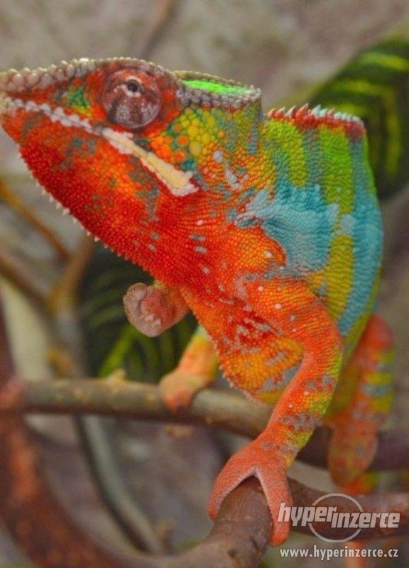 CHAMELEONI PARDÁLÍ -  6 měsíční samci