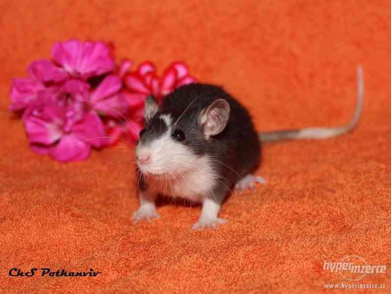 Potkaní miminka s VP