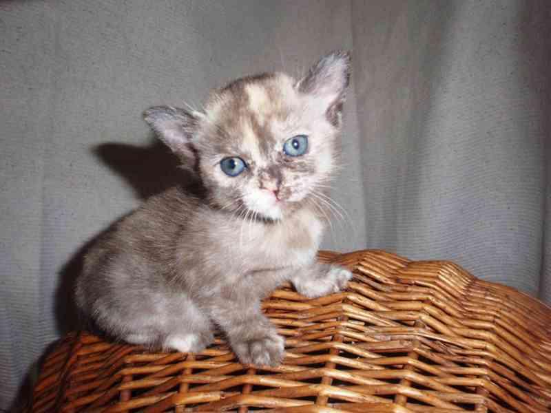 Barmská kočka - Barmská  koťata s PP